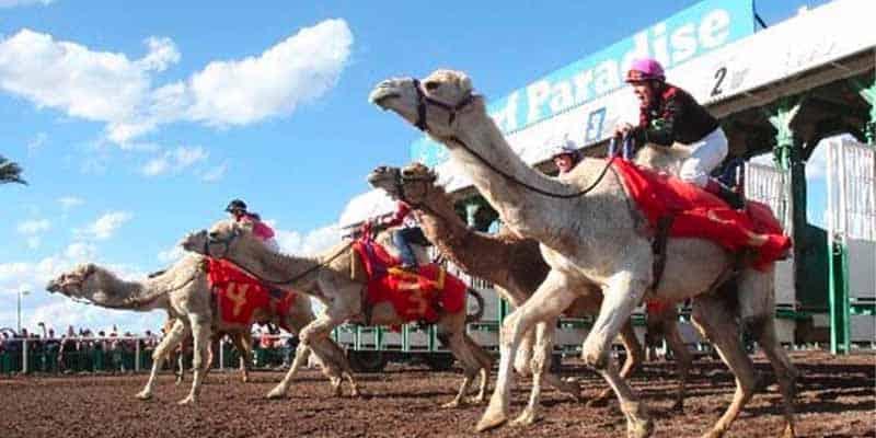 virtual camel racing
