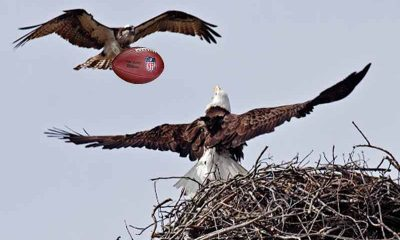 an eagle and a seahawk fighting over a nest and a football