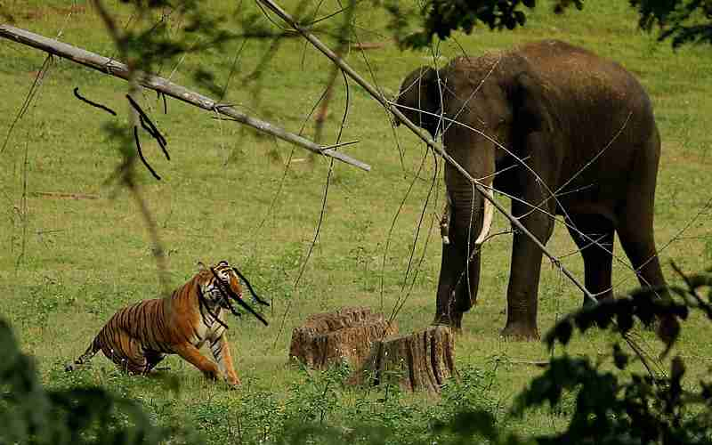 a tiger and an elephant in a field